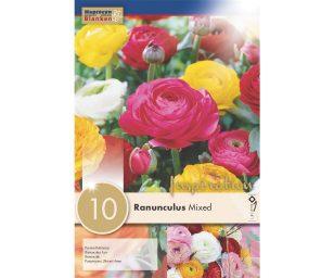 Ranunculus aviv miscuglio ranunculus 'mix'