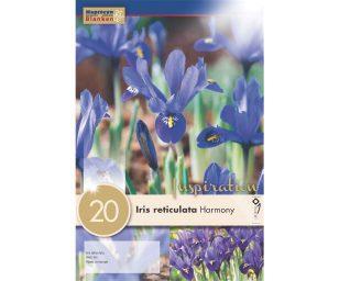 Iris harmony iris reticulata 'harmony'.