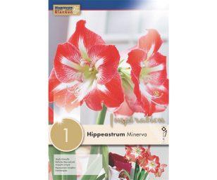 Hippeastrum semplice hippeastrum 'minerva'.