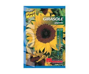 Girasole è una pianta annuale molto robusta a portamento eretto