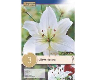 Lilium 'navona'.