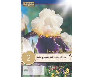 Iris germanica 'headlines'.