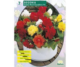 Begonia dubbel mix.