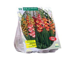 Gladiolus miniatuur gemengd.