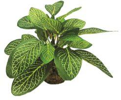 Mantovani pianta dekor fittonia m.