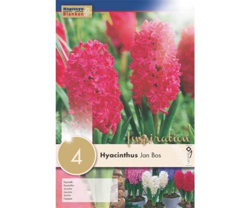 Giacinto hyacinthus 'jan bos'.