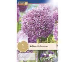 Ornamental onion Allium 'Globemaster'.