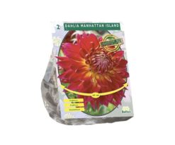Dahlia dinnerplate manhattan island per 2.