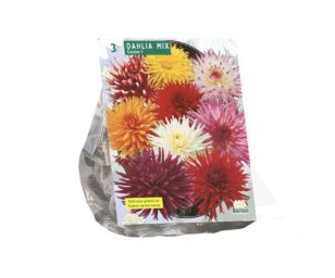 Dahlia cactus mixed per 3.